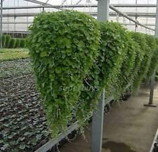 10 Seeds Emerald Falls Dichondra Argentea Kidney Weed Ponys Foot Cascading Pot