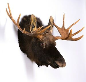 Taxidermy Moose Shoulder Mammal Real Stuffed animal mount Alces alces