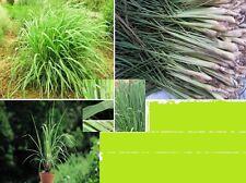 25 x Big Lemon Grass Seeds Garden Seed Novelty Herb Healing Plant #297