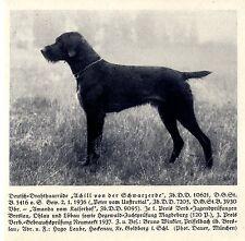 Achill von der Schwarzerde Deutsch-Drahthaar Jagdhunde & Züchter 1930-40