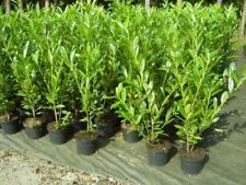 Busch/Strauch-und volles Sonnenlicht-Kirschlorbeer-Strauchpflanzen
