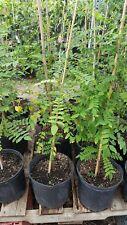 Star Fruit Tree - Cây Khe - 2 to 3 Feet Tall - Ship in 1 Gal Pot