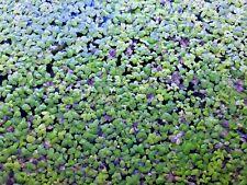 New listing 500 + Duckweed live plants Fish food Organic tank raised Buy 2 get 1 Free