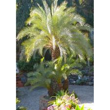 15 x Phoenix theophrasti  Cretan Date Palm tree seeds