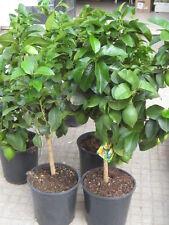 albero nano alberi piante pianta di agrumi cedro 4 stagioni in vaso 22 sicilia