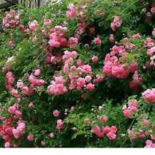 "4 - 8"" FRESH CUTTINGS RAMBLING ROSE DOROTHY PERKINS (wichuraiana)  SHIPS FREE"