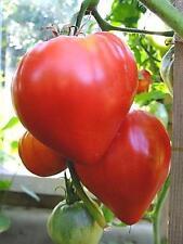Tomato Seeds Bull heart Red Heirloom Vegetable Seeds. 70 SEEDS