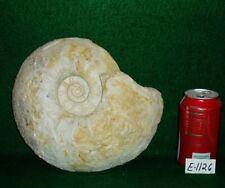 "Large Size, Rare 9-5/8"" Texas Fossil Ammonite ,Dinosaur Age, Cretaceous-E1126"