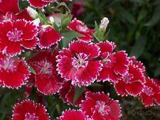 Pink Perennial Flower seed 50 seeds Dianthus garden yard patio balcony Bonsai