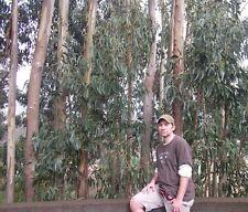 Pfefferminz-Eukalyptus ❆ Kräuter mit Duftöl / bestens gegen Ungeziefer ❆ Samen