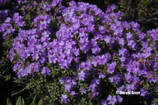 Rhododendron Ramapo - #5 Container Plant - Purple Blooms - Hardy to -25 F