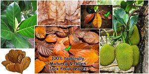 50 Dry Jackfruit Leaves for Aquarium Great Natural Cover Provide Biofilm