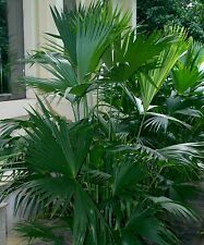 Panama Hat Palm - CARLUDOVICA PALMATA - 30 Seeds Tropicals