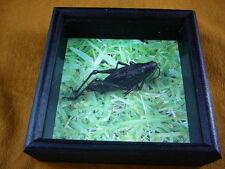 BUG-5 South Eastern Lubber Grasshopper real insect specimen Romalea guttata