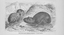 Alpenpfeifhase Lagomys alpinus lepus Hasen Holzstich von 1891