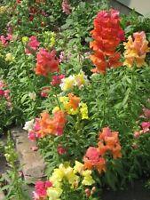 2000 SNAPDRAGON CORONA MIX Antirrhinum Majus Flower Seeds + Gift & Comb S/H
