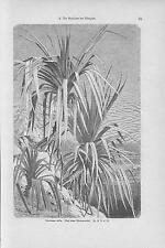 Pandanus utilis Schraubenbäume HOLZSTICH von 1898 Schraubenpalmen Botanik