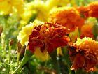 40/400 Graines de Oeillet d'Inde Fleur Double Variée Naine Jaune Orange Rouge