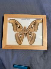 REAL ATTACUS ATLAS MOTH(M) BUTTERFLY-INSECTTAXIDERMY-WOOD FRAME-EX CONDITION!