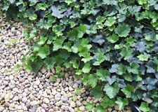 "Thorndale English Ivy 4 Plants - Hardy Groundcover -1 3/4"" Pots"