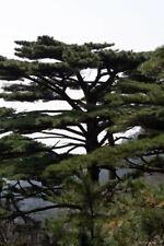Pinus hwangshanensis (Huangshan pine) 30 seeds