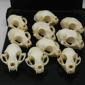 HOT 10pcs Such as pictures real Animal Skull specimen