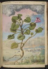 Callystegia Soldanella Morning Glory Fiore Pianta vintage, 7x5 pollici RISTAMPA