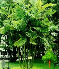 *UNCLE CHAN* 200 SEED MACARTHUR PALM PTYCHOSPERMA MACARTHRII EXOTIC TREE BEAUTY