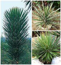 50 semi di Yucca filifera, piante succulente,seed succulents