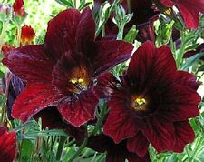 New! 20+ Chocolate Stained Glass Flower Seeds / Annual/ Salpiglossis