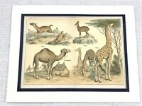 1879 Antico Stampa Animali Giraffa Cammelli Lama Musk Deer Zoological Art 19th C