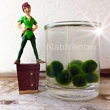 46 Baby Marimo Moss Balls (5-7mm)Cladophora Live Aquarium Plant Fish Tank Free 5