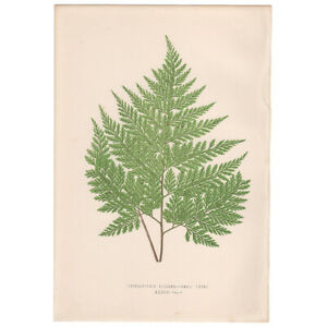 Lowe Exotic Ferns antique 1872 botanical print, Pl 34 Thyrsopteris Elegans