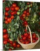 Fresh market tomatoes on the vines and Canvas Wall Art Print, Vegetables Home