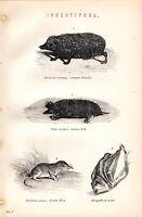 1880 Aufdruck ~ Insectivora~ Igel ~ Maulwurf ~ Garten Shrew Galeopithecus Volans