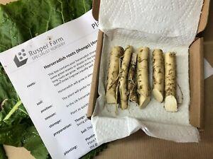 Horseradish Roots for Replanting, Organic, (Armoracia rusticana) FREE P&P