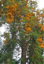 7 Seeds Silky Oak Tropical or Bonsai Gardening fast evergreen Grevillea robusta
