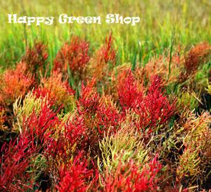 GLASSWORT - 150 seeds - Salicornia europaea - Grows natively in salt marsches