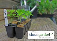 CHILLI PLANTS x 2 - Jalapeno - plug seedlings vegetable garden