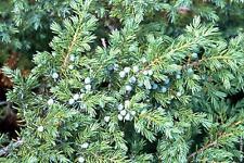 50 x Common Juniper tree seeds (juniperus communis) tree shrub seeds.