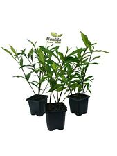 ( 3 ) - Frost Proof Gardenia - Live Plant - 2.5 Inch Pot ( Pack of 3 )