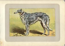 Stampa antica CANE LEVRIERO RUSSO BARZOI GREYHOUND 1907 Old antique print dogs