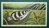 ARCHER FISH    Tropical River Fish   Illustrated Colour Card