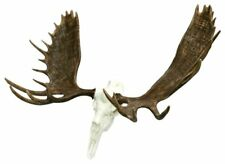 "60"" Alaskan Moose European Mount Taxidermy Horns Antler"