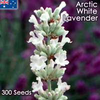 True White English Lavender 300 Seeds Lavandula angustifolia Arctic Snow Rare