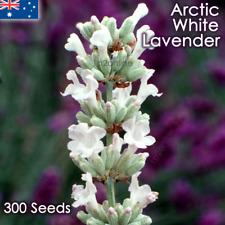 True White English Lavender 300 Seeds Lavandula angustifolia Arctic Snow Rare