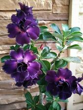 2 Rare Purple Desert Rose Seeds Adenium Obesum Flower Perennial Exotic Tropical
