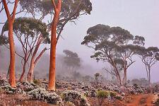 Salmon Gum (Eucalyptus salmonophloia) - 75 Seeds