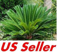 1 PC King Sago Palm Trees Seed T19, Cycas Tree Seed Gardening