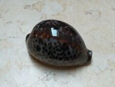 cypraea pantherina F++++ F+++ 82mm Nice color super natural glossy red seashell